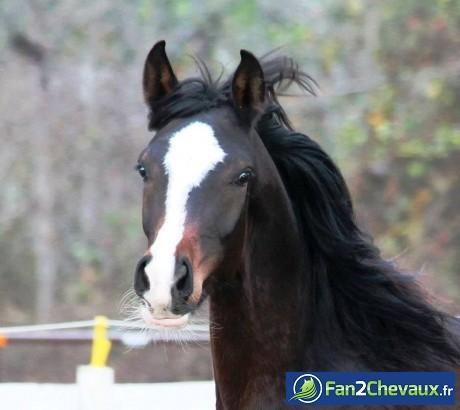Portrait d'un cheval arabe : Pur sang