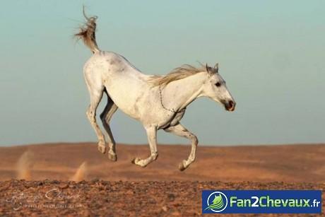 Photo d'un saut d'un cheval blanc : Chevaux sauvages