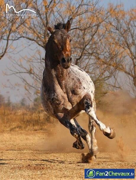 Un cheval galope en liberté : Chevaux sauvages