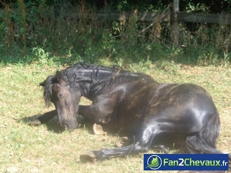 A la fin de leurs journée les chevaux aiment se gratouiller! : Poneys