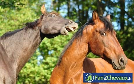 Deux chevaux se battent :
