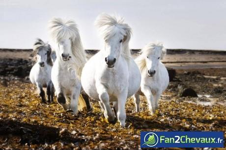 Chevaux Islandais : Chevaux divers
