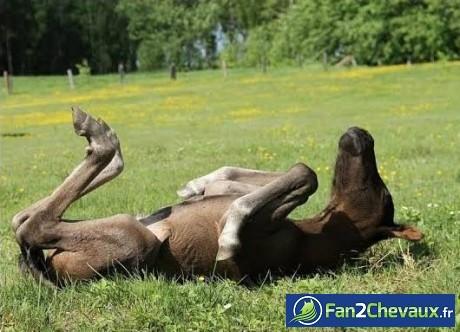 Sieste au soleil pour ce poulain : Poulains