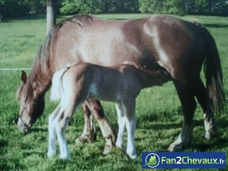 ma jument (reine) de race bretonne et sa fille (chipie). : Chevaux de trait