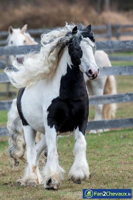 Cheval à crinière bouclée blanche :