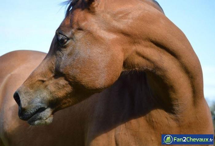 Une jument Arabe : Photos de chevaux pur sang