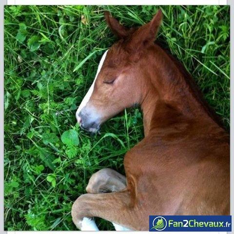Un poulain fait une sieste : Photos de chevaux sauvages