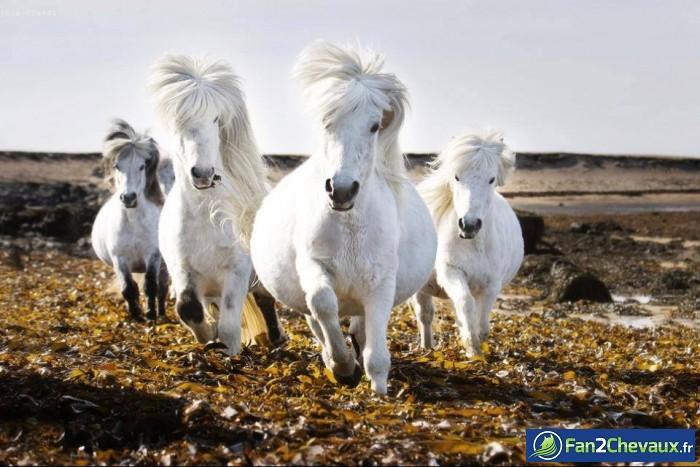Chevaux Islandais : Les plus belles photos de chevaux