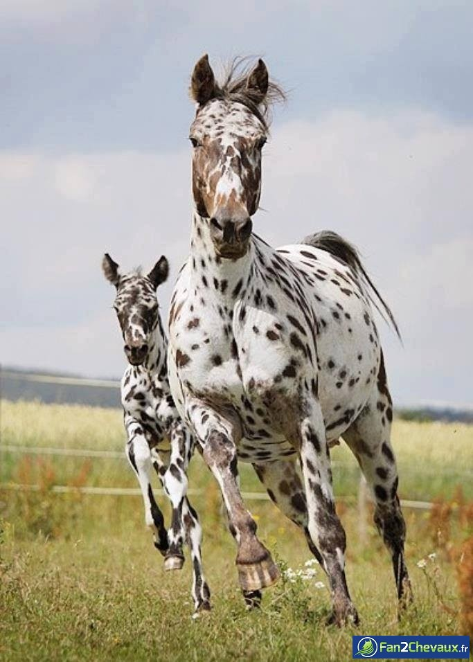 Photo de Knabstrup - cheval de race du Danemark : Photos du cheval des membres