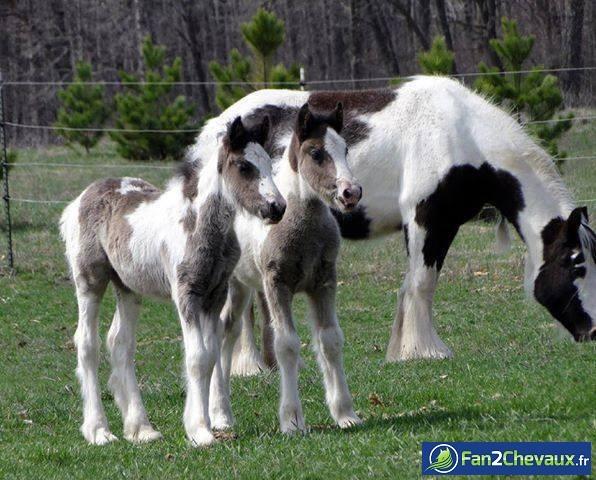 Calendrier de l'avent chevaux : Photos de poulains
