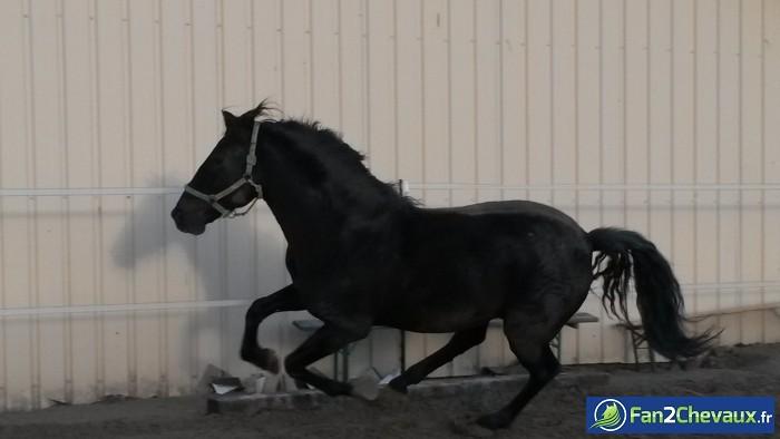 Madronio en plein galop en carrière : Photos de chevaux iberiques