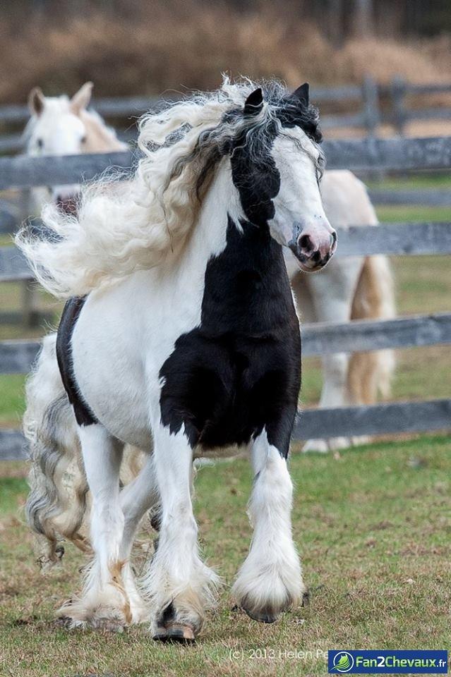 Cheval à crinière bouclée blanche : Photos de chevaux pur sang
