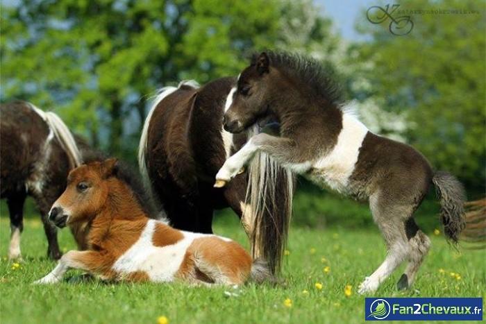 Saute mouton : Photos de chevaux sauvages