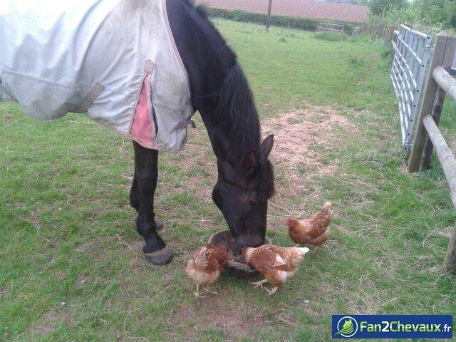 Un cheval avec des poules : Photos rigolotes de chevaux