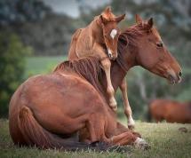 Un poulain joue avec sa mère