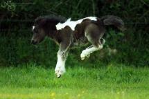 Comment un poulain apprend à sauter?