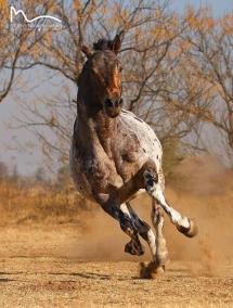 Un cheval galope en liberté
