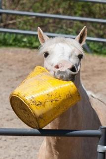 Comment savoir si un cheval à faim?