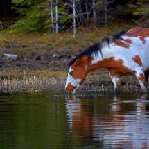 Comment se nourrit un cheval sauvage?