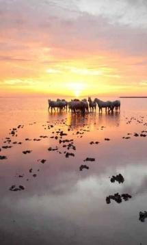Des chevaux pendant un couché de soleil