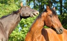 Deux chevaux se battent