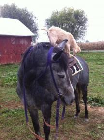 Une chèvre monte sur un cheval