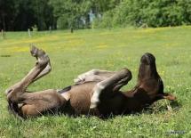 Sieste au soleil pour ce poulain