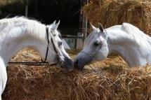 Bonne année 2014 avec les chevaux