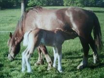 ma jument (reine) de race bretonne et sa fille (chipie).