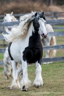 Cheval à crinière bouclée blanche