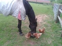 Un cheval avec des poules