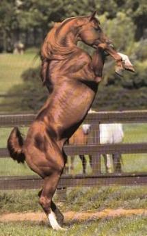 Un pur-sang cabre